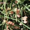 Ephedra foeminea