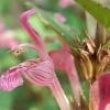 Lamium garganicum ssp striatum