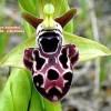 Ophrys kotschyi