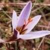 Crocus hartmannianus