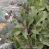 Brassica hilarionis