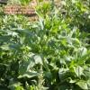 Spinacea oleracea