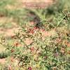 Alhagi maurorum ssp maurorum