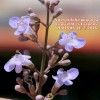 """Vitex trifolia """"purpurea"""""""
