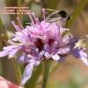 Lomelosia cyprica