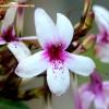 Pseuderanthemum sp
