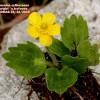 Ranunculus cytheraeus