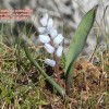 Hyacinthella millingenii