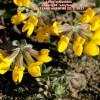 Lotus cytisoides