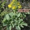 Leontice leontopetalum ssp leontopetalum