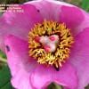 Paeonia mascula subsp. mascula