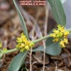 Vincetoxicum canescens