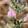 Ononis spinosa ssp leiosperma
