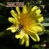 Taraxacum hellenicum