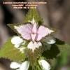 Lamiummoschatumsubsp.micranthum