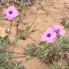 Erodiumcrassifoliumsubsp.crassifolium