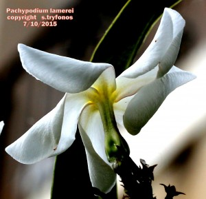 P.lamerei5