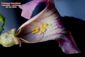 P.ricasoliana D