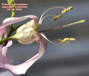 P.ricasoliana F