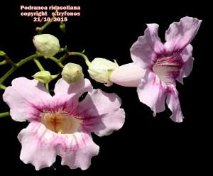 P.ricasoliana3