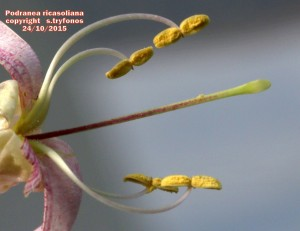 P.ricasolianaG