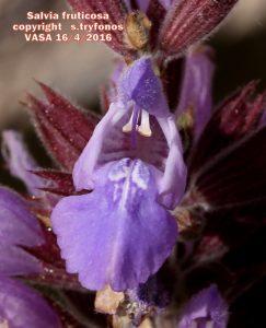 Salvia fruticos8pg