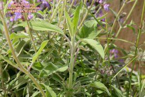 Salvia fruticosa 2
