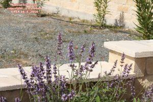 Salvia fruticosa7pg