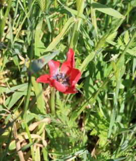 Tulipa akamasica
