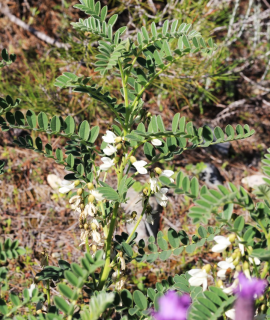 Erophaca baetica ssp orientalis