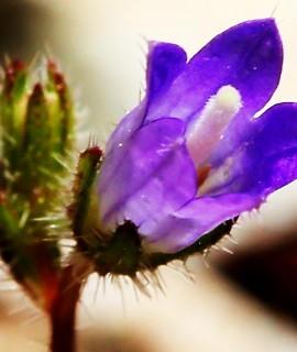 Campanula podocarpa