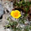 Eschschotzia californica