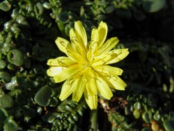 Taraxacum aphrogenes
