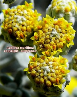 Achillea maritima ssp maritima