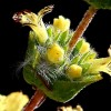 Sideritis cypria