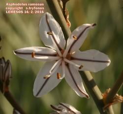 Αsphodelus ramosus
