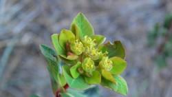 Euphorbia lemesiana