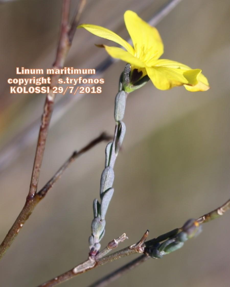 Linum maritimum
