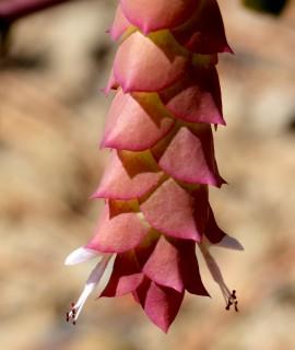 Origanum cordifolium