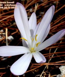 Colchicum troodi