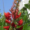Erythrina crista-galli