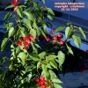 Euphorbia integerrima