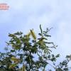 Faidherbia albida