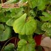 """Farfugium japonicum """"aureomaculatum"""""""
