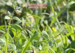 Asperugo procumbens
