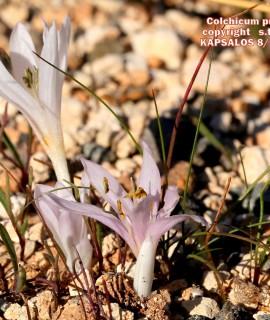 Colchicum pusillum