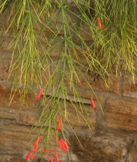 Russelia equisediformis