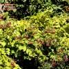 Combretum indicum