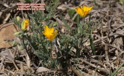 Hypecoum procumbens ssp procumbens