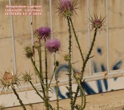 Onopordum cyprium